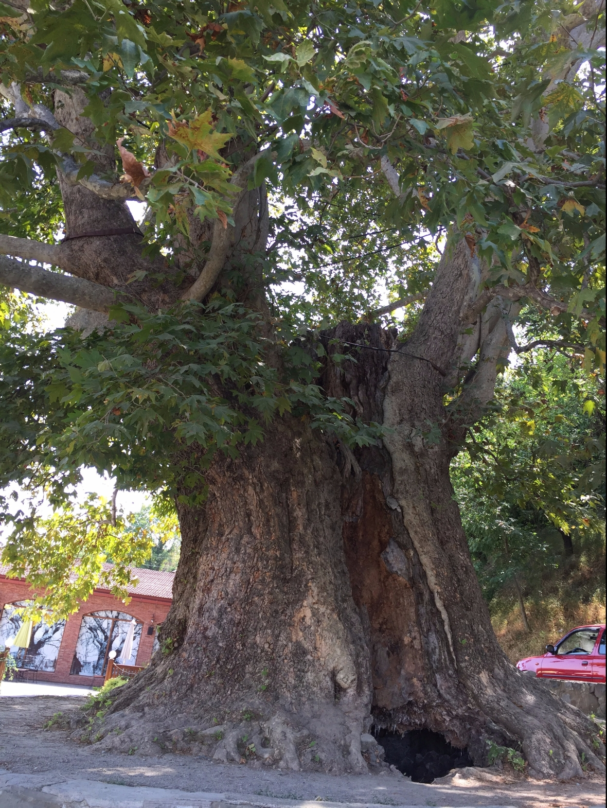 900 Year Old Giant Plane Tree in Telavi